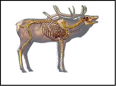 Moose vital organs diagram complete wiring diagrams elk 101 kdfws rh app fw ky gov deer vital zone whitetail deer vitals diagram ccuart Images